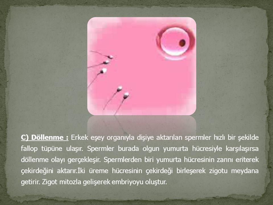 C) Döllenme : Erkek eşey organıyla dişiye aktarılan spermler hızlı bir şekilde fallop tüpüne ulaşır. Spermler burada olgun yumurta hücresiyle karşılaş