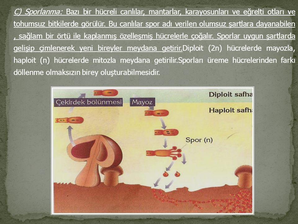 C) Sporlanma: Bazı bir hücreli canlılar, mantarlar, karayosunları ve eğrelti otları ve tohumsuz bitkilerde görülür. Bu canlılar spor adı verilen olums