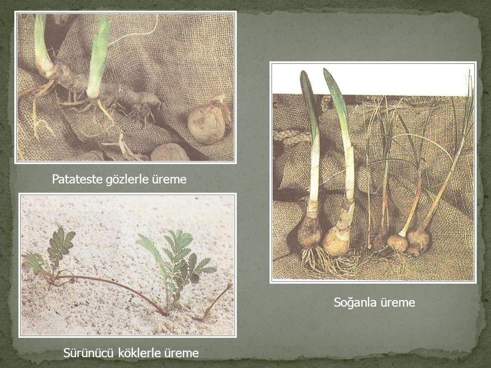 Tozlaşma ve Döllenme : Bitkiler döllenmeyi kolaylaştırmak için rüzgar,böcek ve kuşlar aracılığıyla polenleri başka çiçeğe gönderir.Bu olaya tozlaşma denir.Tozlaşmayla diğer bir bitkinin çiçeğine ulaşan polen keselerinde tüp hücreleri polen tüpünü oluşturur.Generatif hücreler mitozla 2 tane sperm çekirdeği oluşturur.Daha sonra bu çekirdeklerden biri yumurtayı dölleyerek zigotu (2n), diğeri polar çekirdekleri dölleyerek endosporu (3n) meydana getirir.