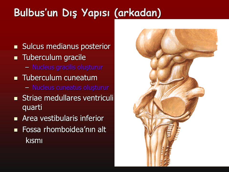 10 Bulbus'un Dış Yapısı (arkadan) Sulcus medianus posterior Sulcus medianus posterior Tuberculum gracile Tuberculum gracile –Nucleus gracilis oluşturu