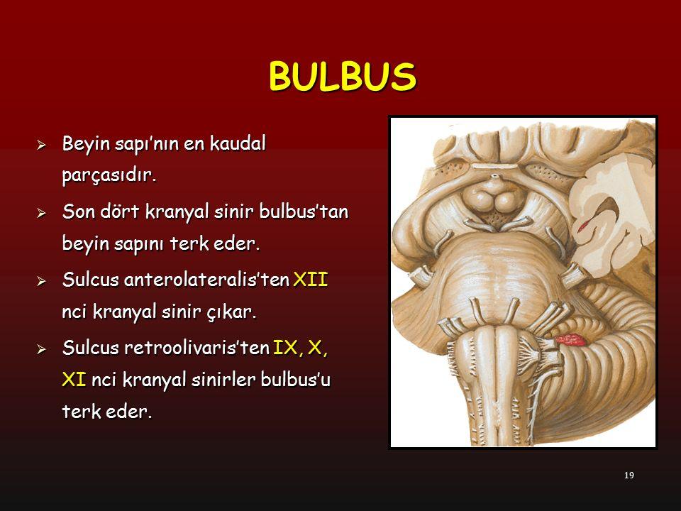 19 BULBUS  Beyin sapı'nın en kaudal parçasıdır.  Son dört kranyal sinir bulbus'tan beyin sapını terk eder.  Sulcus anterolateralis'ten XII nci kran