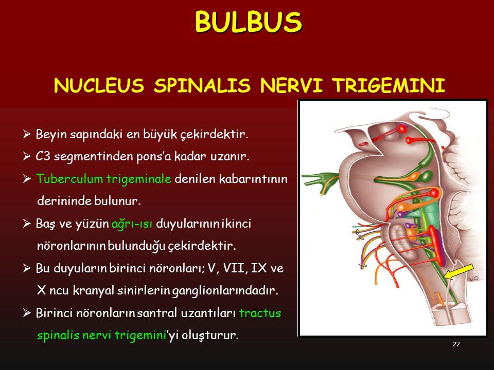 22  Beyin sapındaki en büyük çekirdektir.  C3 segmentinden pons'a kadar uzanır.  Tuberculum trigeminale denilen kabarıntının derininde bulunur.  B