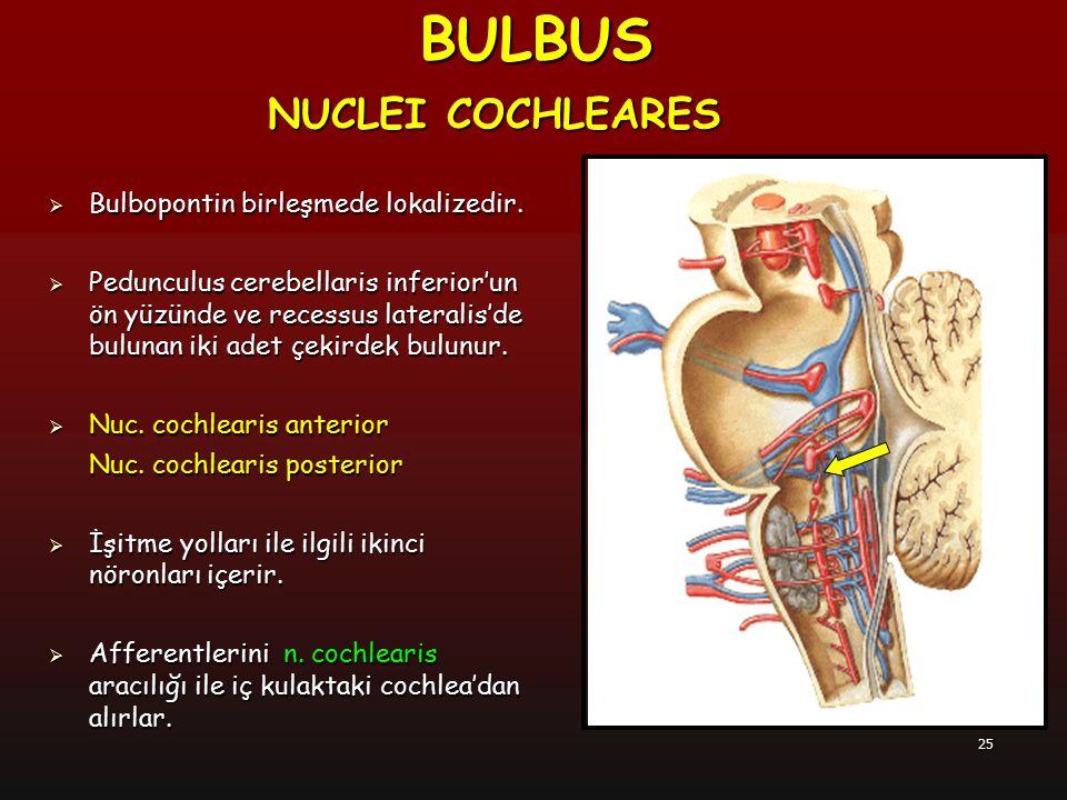 25  Bulbopontin birleşmede lokalizedir.  Pedunculus cerebellaris inferior'un ön yüzünde ve recessus lateralis'de bulunan iki adet çekirdek bulunur.