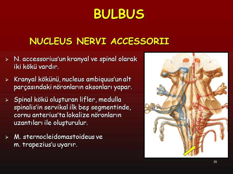 35 NUCLEUS NERVI ACCESSORII  N. accessorius'un kranyal ve spinal olarak iki kökü vardır.  Kranyal kökünü, nucleus ambiquus'un alt parçasındaki nöron