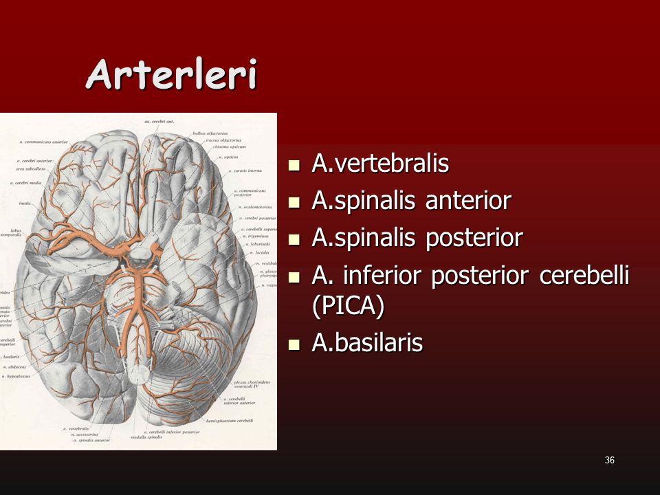 36 Arterleri A.vertebralis A.vertebralis A.spinalis anterior A.spinalis anterior A.spinalis posterior A.spinalis posterior A. inferior posterior cereb