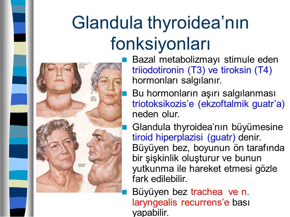 Glandula thyroidea'nın fonksiyonları Bazal metabolizmayı stimule eden triiodotironin (T3) ve tiroksin (T4) hormonları salgılanır. Bu hormonların aşırı