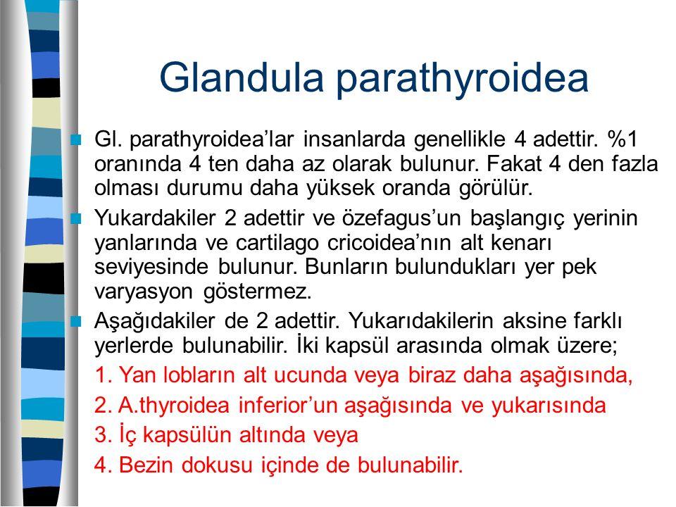 Glandula parathyroidea Gl. parathyroidea'lar insanlarda genellikle 4 adettir. %1 oranında 4 ten daha az olarak bulunur. Fakat 4 den fazla olması durum
