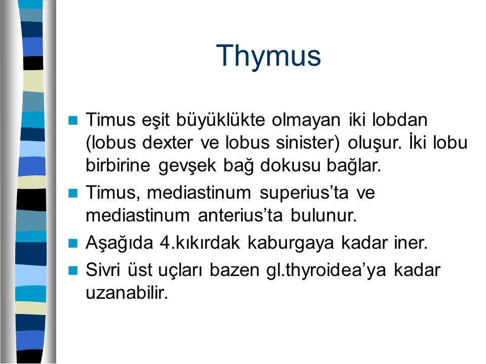 Thymus Timus eşit büyüklükte olmayan iki lobdan (lobus dexter ve lobus sinister) oluşur. İki lobu birbirine gevşek bağ dokusu bağlar. Timus, mediastin