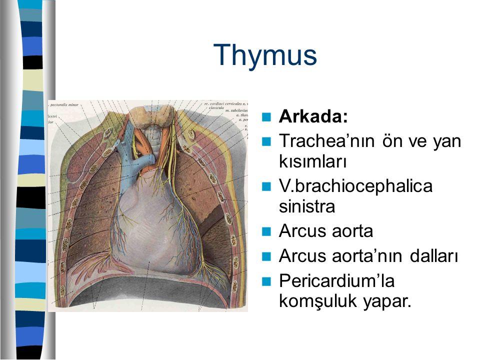 Thymus Arkada: Trachea'nın ön ve yan kısımları V.brachiocephalica sinistra Arcus aorta Arcus aorta'nın dalları Pericardium'la komşuluk yapar.