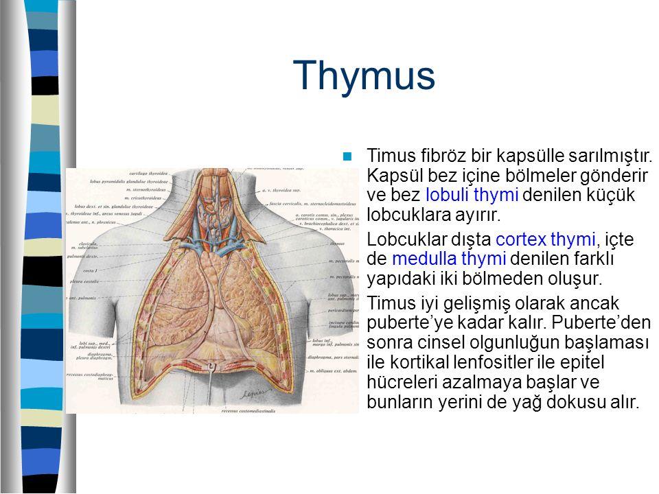 Thymus Timus fibröz bir kapsülle sarılmıştır. Kapsül bez içine bölmeler gönderir ve bez lobuli thymi denilen küçük lobcuklara ayırır. Lobcuklar dışta