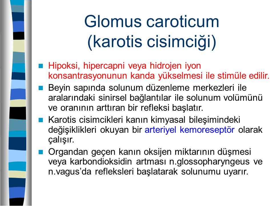 Glomus caroticum (karotis cisimciği) Hipoksi, hipercapni veya hidrojen iyon konsantrasyonunun kanda yükselmesi ile stimüle edilir. Beyin sapında solun