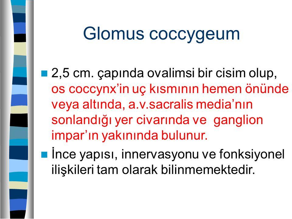 Glomus coccygeum 2,5 cm. çapında ovalimsi bir cisim olup, os coccynx'in uç kısmının hemen önünde veya altında, a.v.sacralis media'nın sonlandığı yer c