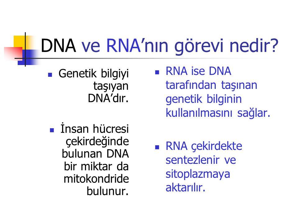 DNA ve RNA'nın görevi nedir? Genetik bilgiyi taşıyan DNA'dır. İnsan hücresi çekirdeğinde bulunan DNA bir miktar da mitokondride bulunur. RNA ise DNA t