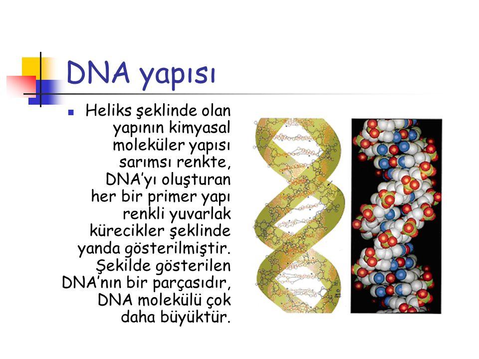 DNA yapısı Heliks şeklinde olan yapının kimyasal moleküler yapısı sarımsı renkte, DNA'yı oluşturan her bir primer yapı renkli yuvarlak kürecikler şekl