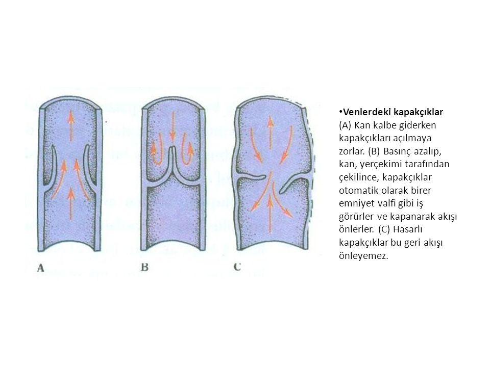 Venlerdeki kapakçıklar (A) Kan kalbe giderken kapakçıkları açılmaya zorlar.