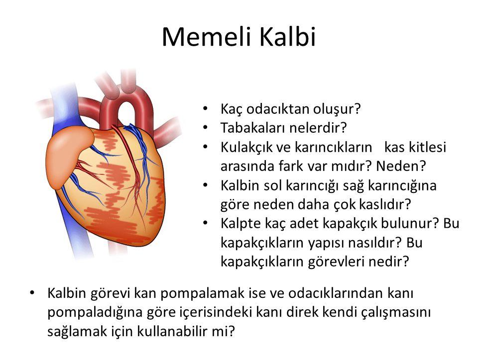 Memeli Kalbi Kaç odacıktan oluşur.Tabakaları nelerdir.
