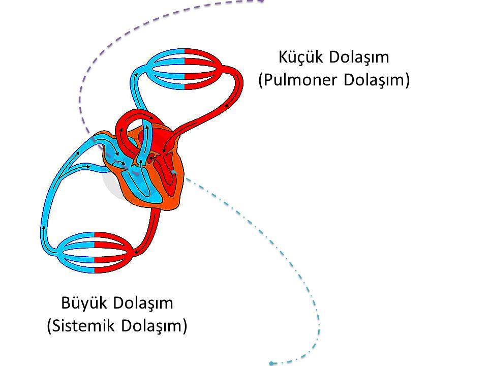 Büyük Dolaşım (Sistemik Dolaşım) Küçük Dolaşım (Pulmoner Dolaşım)