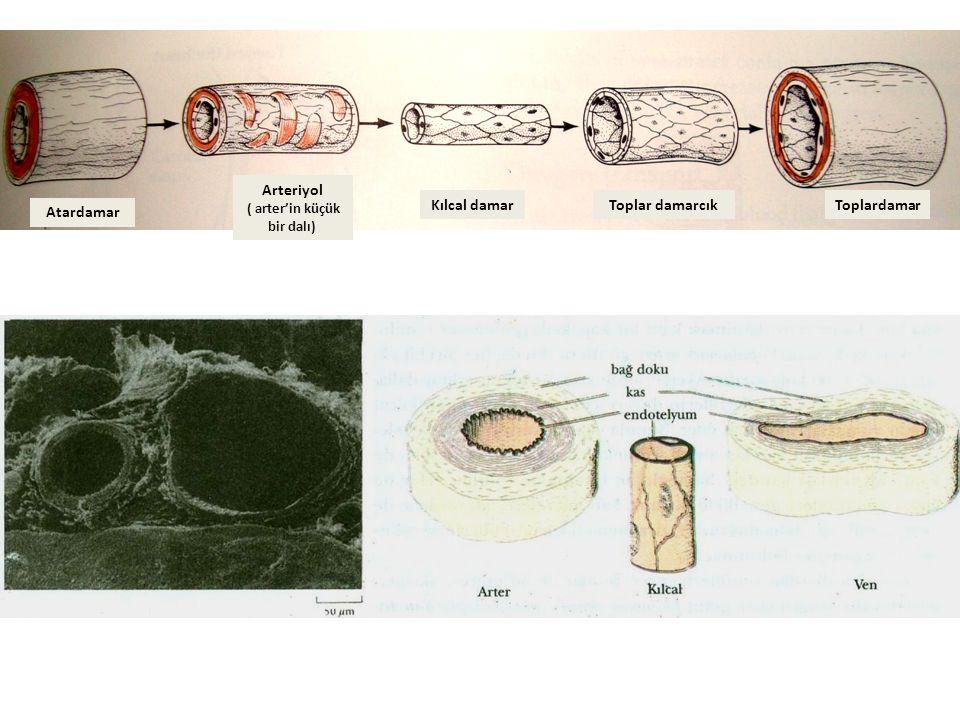 Atardamar Arteriyol ( arter'in küçük bir dalı) Kılcal damarToplar damarcıkToplardamar