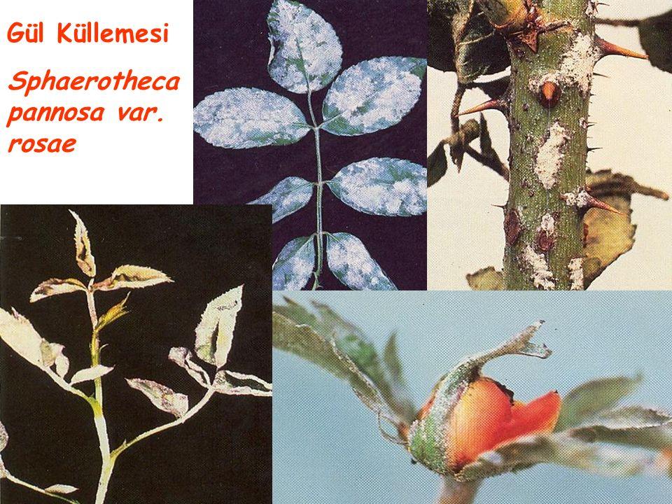 Gül Küllemesi Sphaerotheca pannosa var. rosae