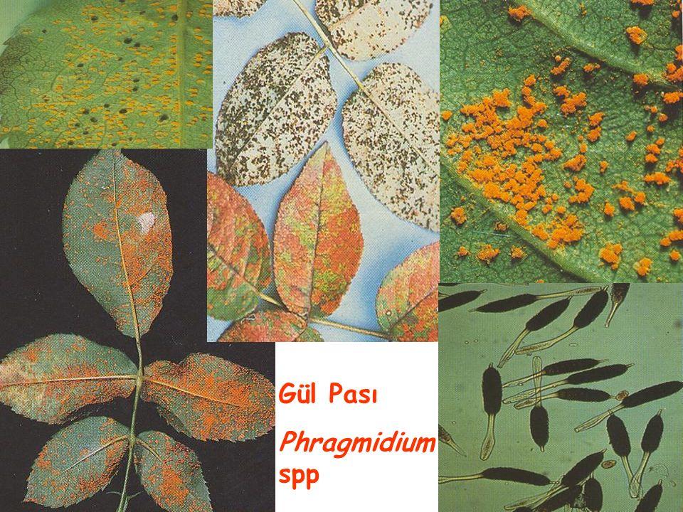 Gül Pası Phragmidium spp