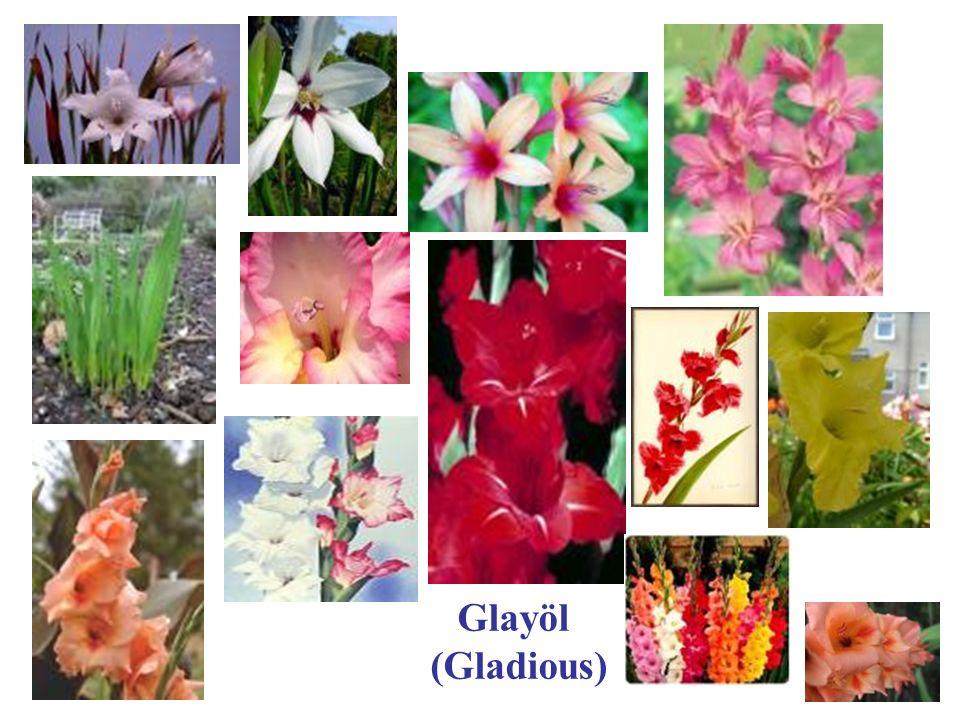 Glayöl (Gladious)