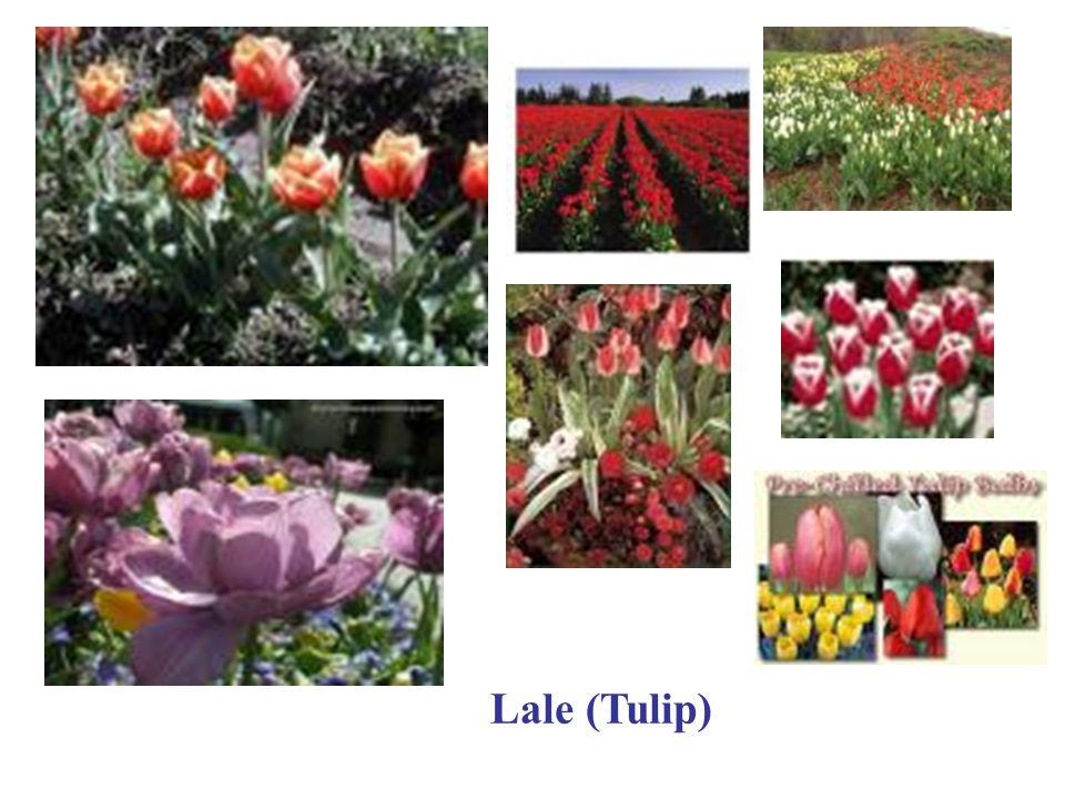 Lale (Tulip)