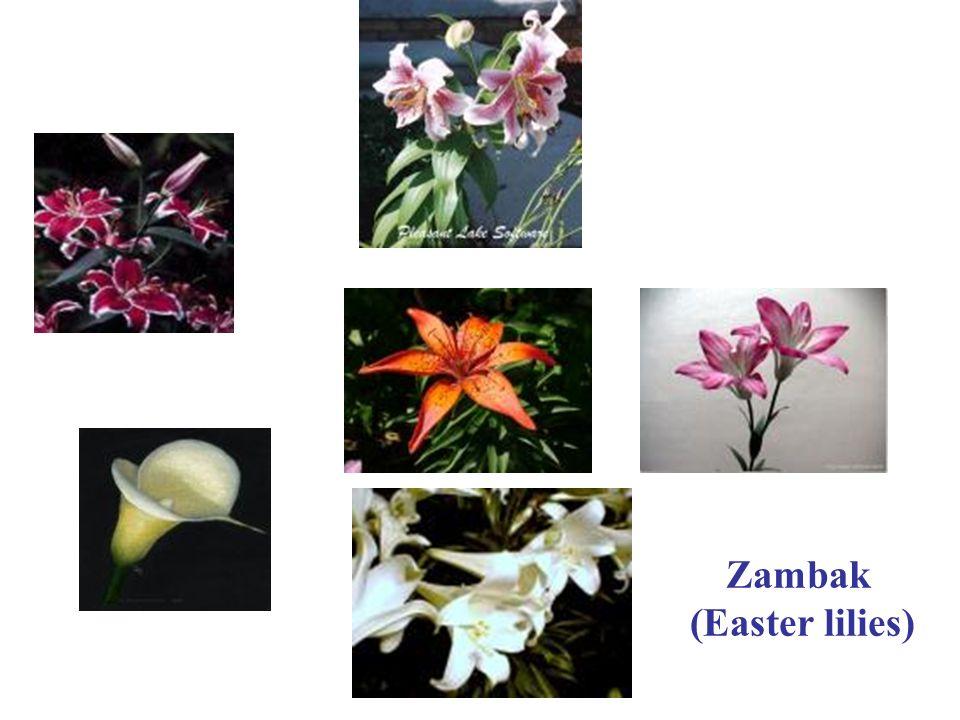 Zambak (Easter lilies)