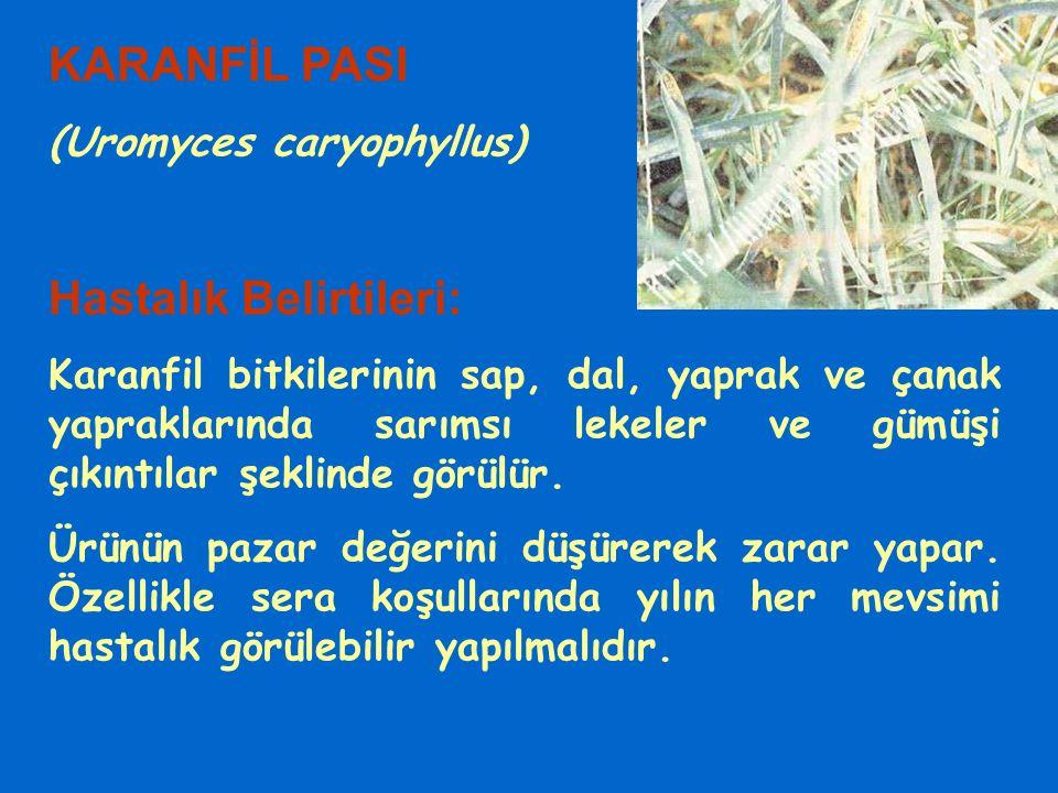 KARANFİL PASI (Uromyces caryophyllus) Hastalık Belirtileri: Karanfil bitkilerinin sap, dal, yaprak ve çanak yapraklarında sarımsı lekeler ve gümüşi çı