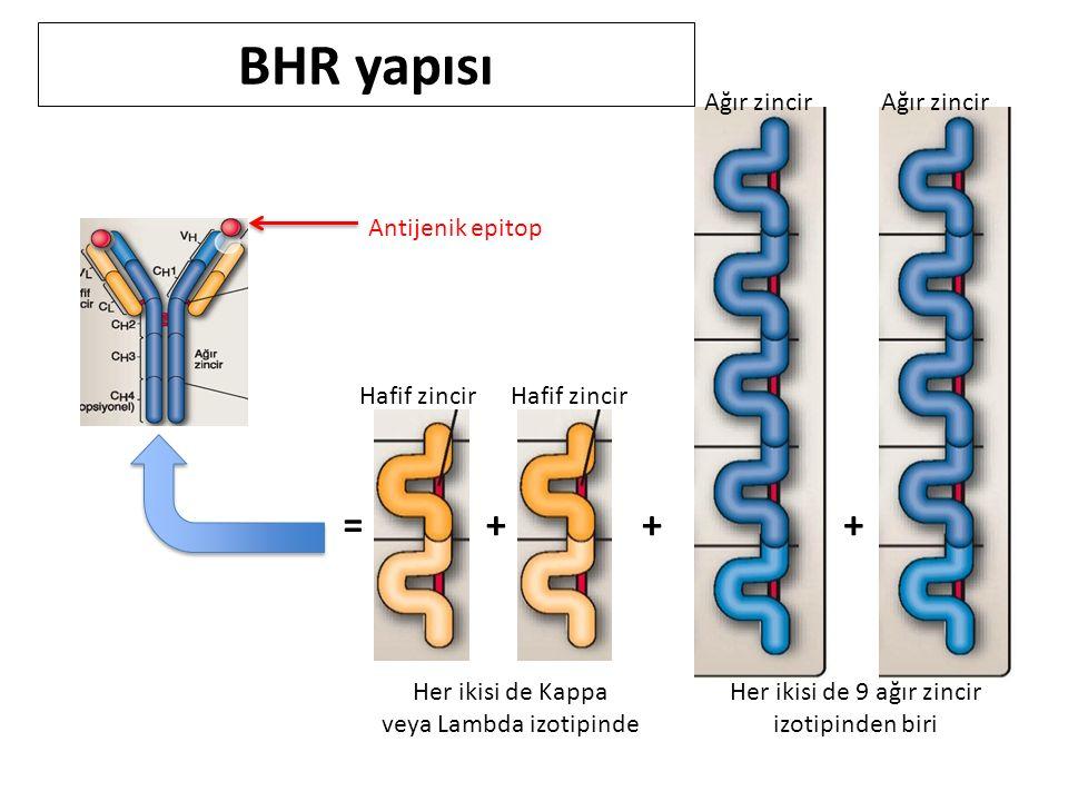 Antijenik epitop +++= Ağır zincir Hafif zincir Her ikisi de Kappa veya Lambda izotipinde Her ikisi de 9 ağır zincir izotipinden biri BHR yapısı