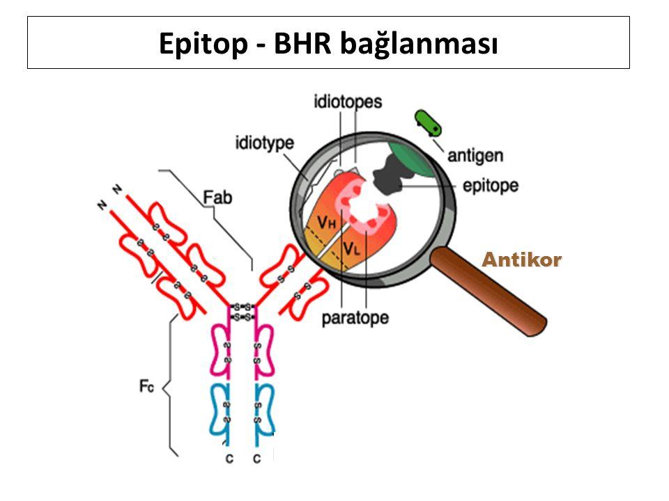 Antikor Epitop - BHR bağlanması