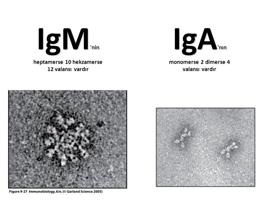 Figure 9-27 IgM 'nin heptamerse 10 hekzamerse 12 valansı vardır IgA 'nın monomerse 2 dimerse 4 valansı vardır