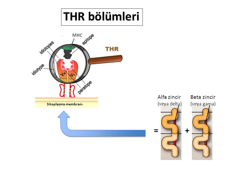 MHC THR THR bölümleri += Beta zincir (veya gama) Alfa zincir (veya delta) Sitoplazma membranı