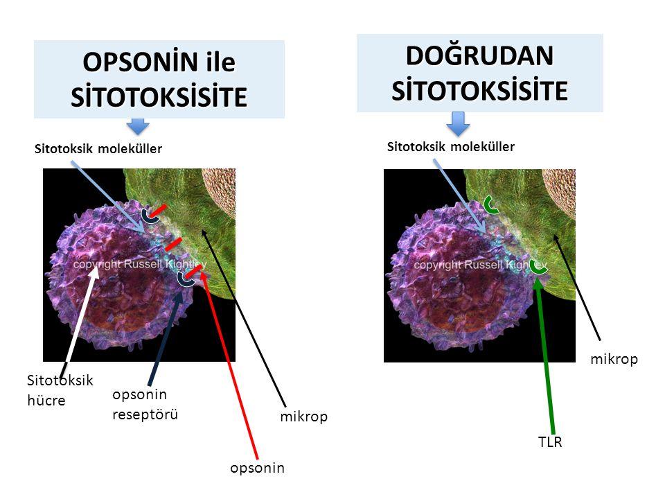 DOĞRUDANSİTOTOKSİSİTE opsonin mikrop opsonin reseptörü Sitotoksik hücre Sitotoksik moleküller mikrop TLR Sitotoksik moleküller OPSONİN ile SİTOTOKSİSİ