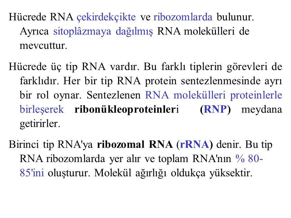 Hücrede RNA çekirdekçikte ve ribozomlarda bulunur. Ayrıca sitoplâzmaya dağılmış RNA molekülleri de mevcuttur. Hücrede üç tip RNA vardır. Bu farklı tip