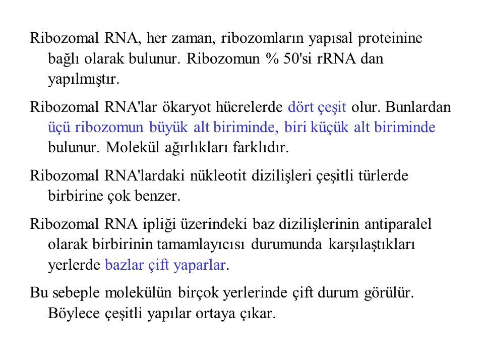 Ribozomal RNA, her zaman, ribozomların yapısal proteinine bağlı olarak bulunur. Ribozomun % 50'si rRNA dan yapılmıştır. Ribozomal RNA'lar ökaryot hücr