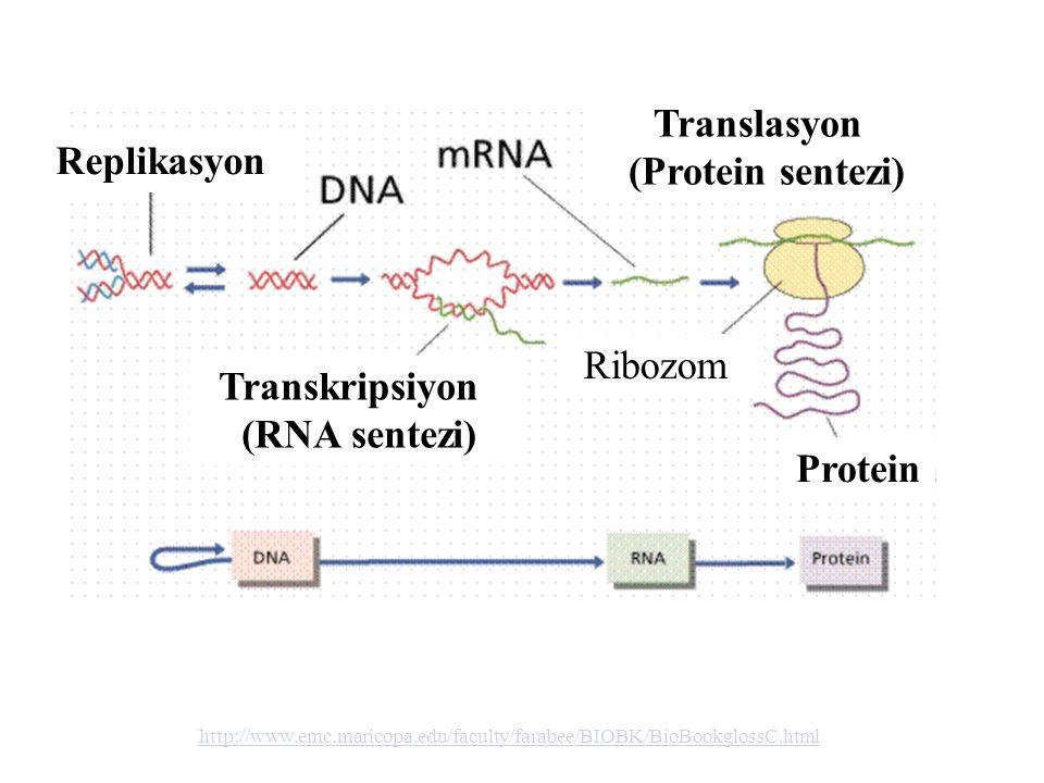 http://www.emc.maricopa.edu/faculty/farabee/BIOBK/BioBookglossC.html Translasyon (Protein sentezi) Replikasyon Transkripsiyon (RNA sentezi) Ribozom Pr