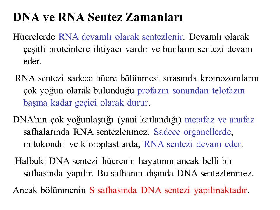 DNA ve RNA Sentez Zamanları Hücrelerde RNA devamlı olarak sentezlenir. Devamlı olarak çeşitli proteinlere ihtiyacı vardır ve bunların sentezi devam ed