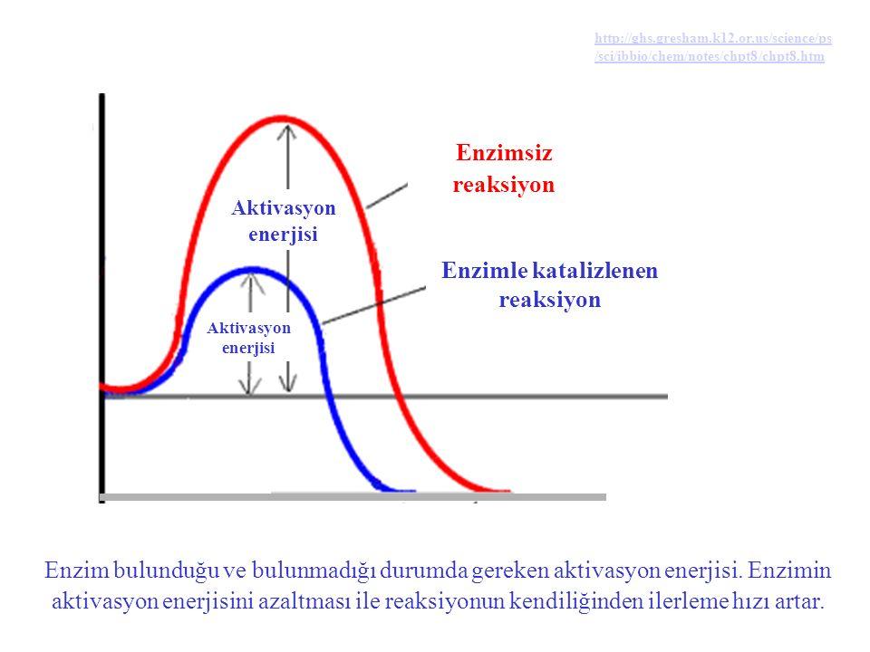 Enzim, reaksiyonun ilerlemesi için gereken aktivasyon enerjisini azaltır.