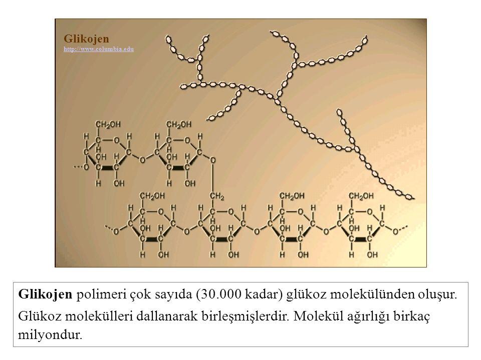 Glikojen http://www.columbia.edu Glikojen polimeri çok sayıda (30.000 kadar) glükoz molekülünden oluşur. Glükoz molekülleri dallanarak birleşmişlerdir
