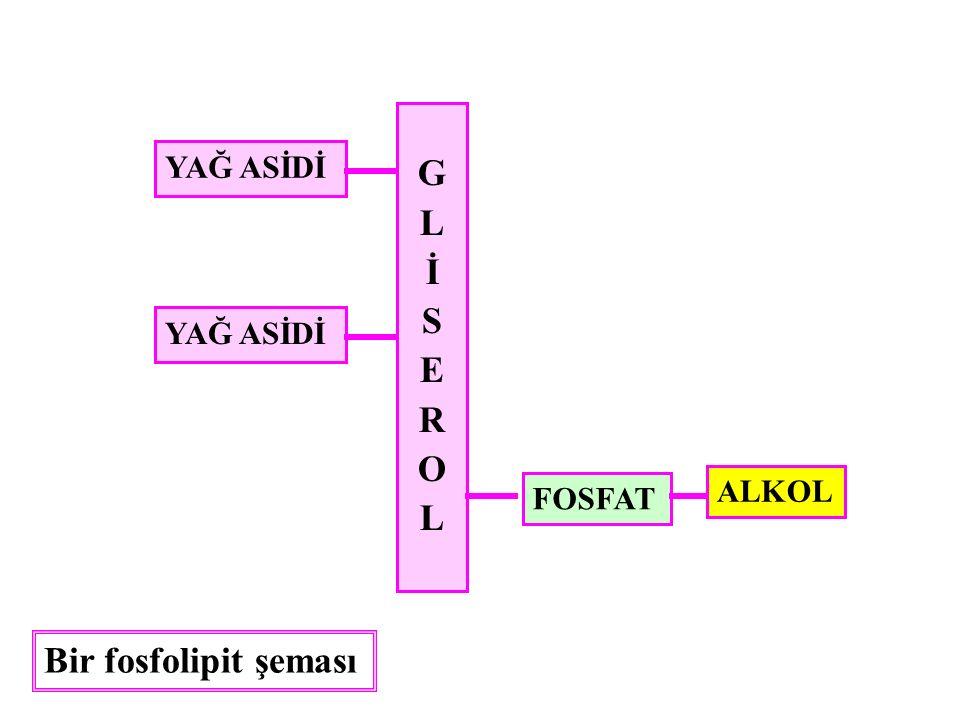 GLİSEROLGLİSEROL YAĞ ASİDİ FOSFAT ALKOL Bir fosfolipit şeması