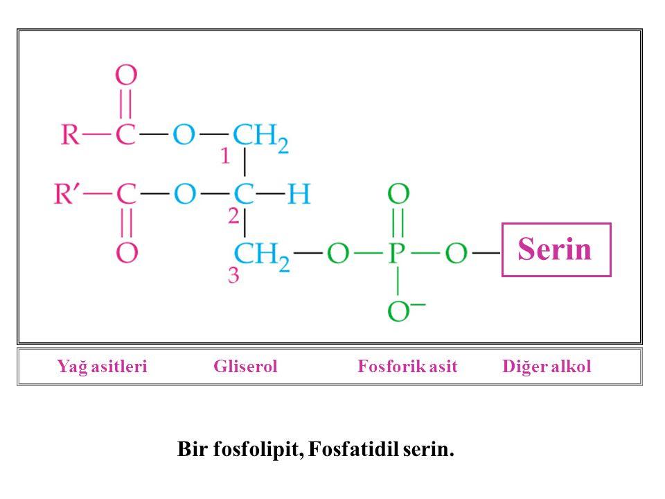 Fosfolipitler amfipatik moleküllerdir.