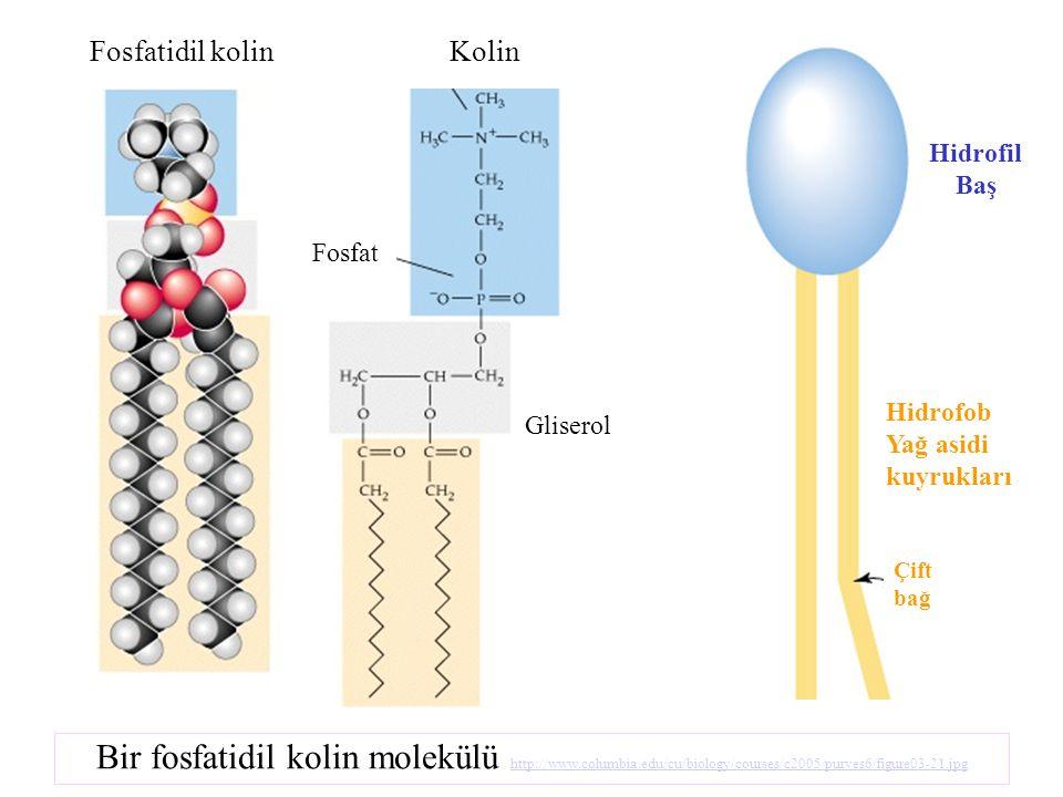 Fosfatidil kolin Fosfat Gliserol Kolin Bir fosfatidil kolin molekülü http://www.columbia.edu/cu/biology/courses/c2005/purves6/figure03-21.jpg http://w