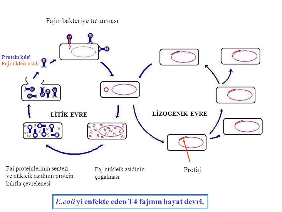 LİTİK EVRE LİZOGENİK EVRE Fajın bakteriye tutunması Protein kılıf Faj nükleik asidi Faj nükleik asidinin çoğalması Faj proteinlerinin sentezi ve nükle