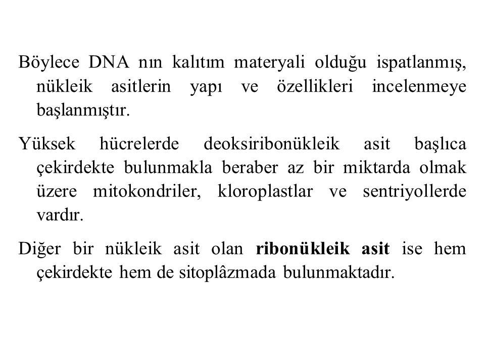 Böylece DNA nın kalıtım materyali olduğu ispatlanmış, nükleik asitlerin yapı ve özellikleri incelenmeye başlanmıştır. Yüksek hücrelerde deoksiribonükl