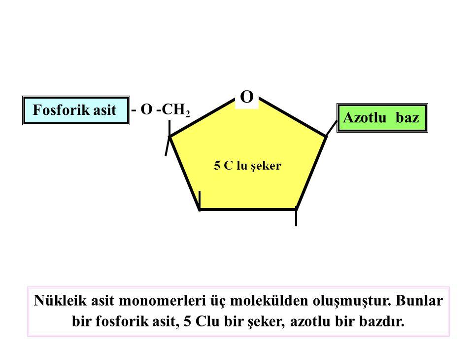 5 C lu şeker O - O -CH 2 Fosforik asit Azotlu baz Nükleik asit monomerleri üç molekülden oluşmuştur. Bunlar bir fosforik asit, 5 Clu bir şeker, azotlu
