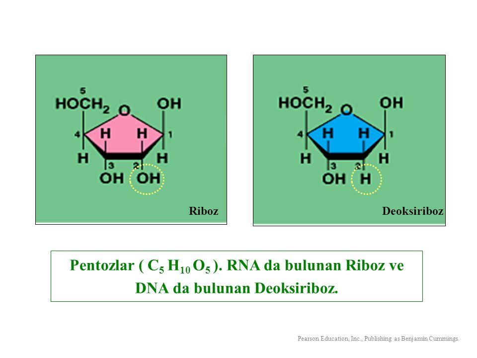 Pentozlar ( C 5 H 10 O 5 ). RNA da bulunan Riboz ve DNA da bulunan Deoksiriboz. RibozDeoksiriboz Pearson Education, Inc., Publishing as Benjamin Cummi
