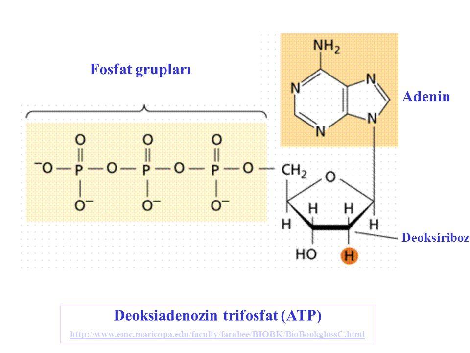 Deoksiadenozin trifosfat (ATP) http://www.emc.maricopa.edu/faculty/farabee/BIOBK/BioBookglossC.html http://www.emc.maricopa.edu/faculty/farabee/BIOBK/