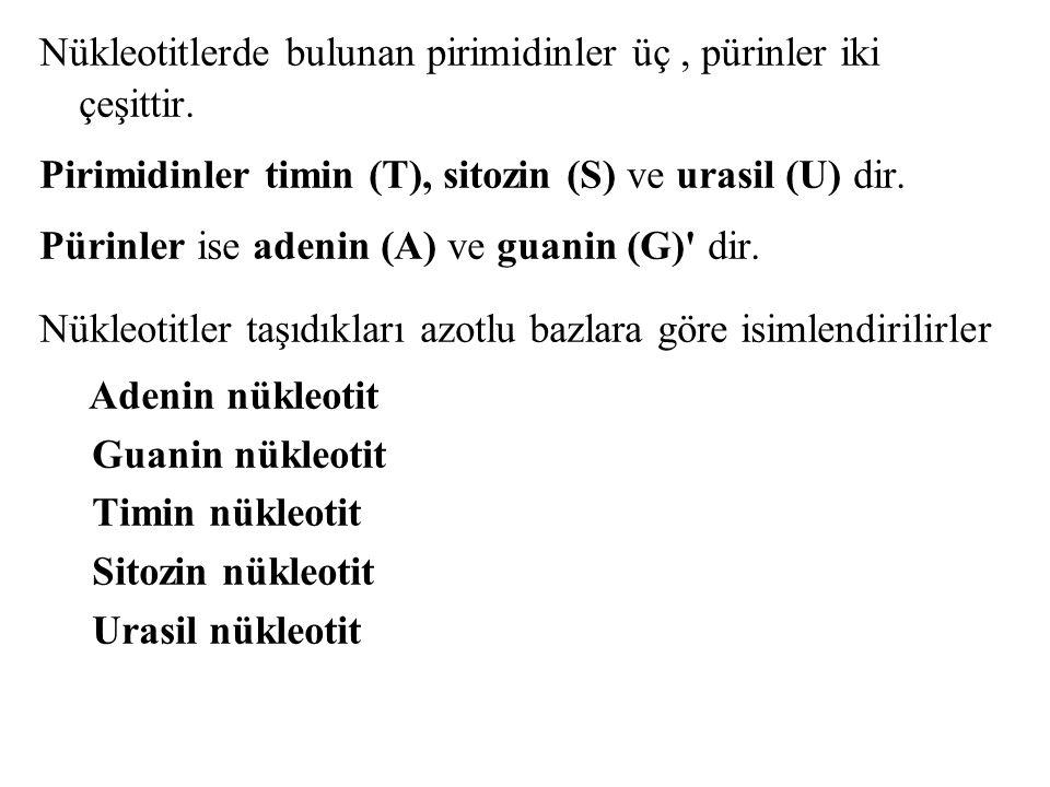 Nükleotitlerde bulunan pirimidinler üç, pürinler iki çeşittir. Pirimidinler timin (T), sitozin (S) ve urasil (U) dir. Pürinler ise adenin (A) ve guani