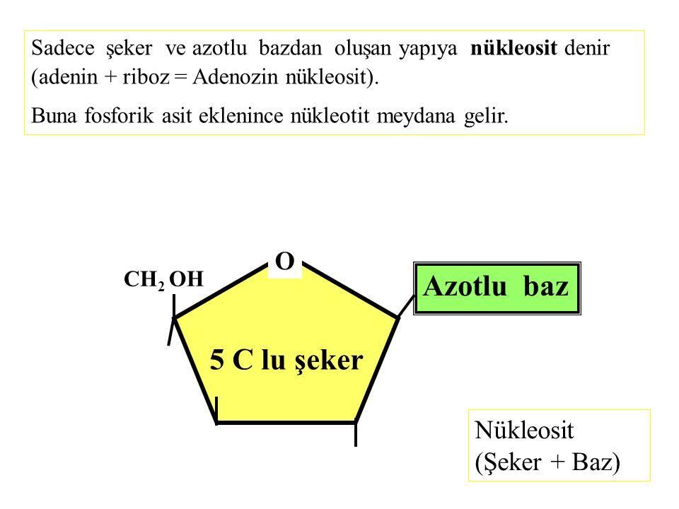 5 C lu şeker O CH 2 OH Azotlu baz Nükleosit (Şeker + Baz) Sadece şeker ve azotlu bazdan oluşan yapıya nükleosit denir (adenin + riboz = Adenozin nükle