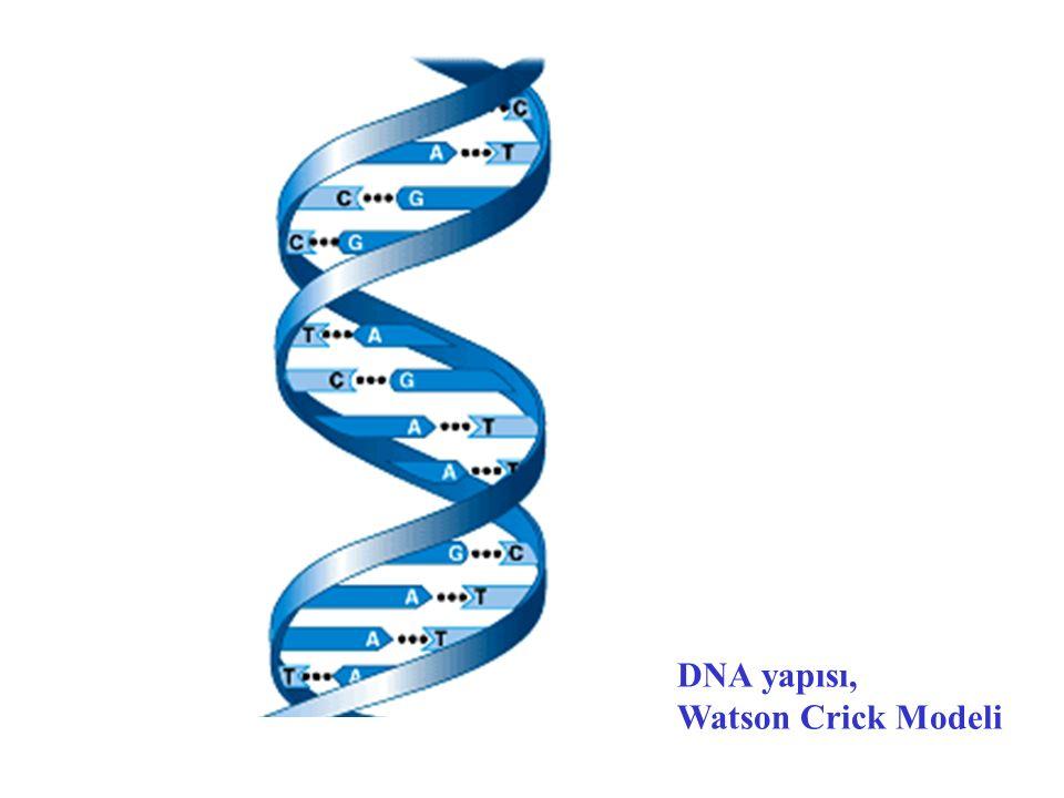 B DNA http://www.kms.ac.jp/~xraylab/research/dna.html http://www.kms.ac.jp/~xraylab/research/dna.html